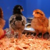 Meet the New Chicks!