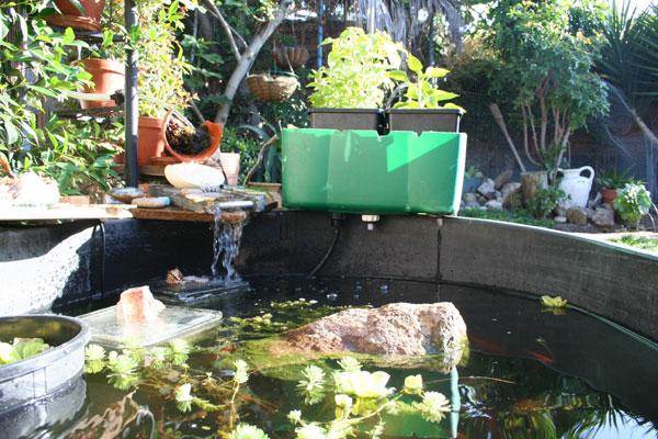 Garden pond pura vida culture for Fish pond hydroponics