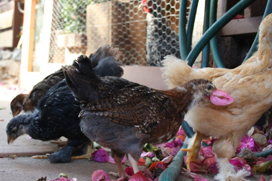 chicks chicken hen