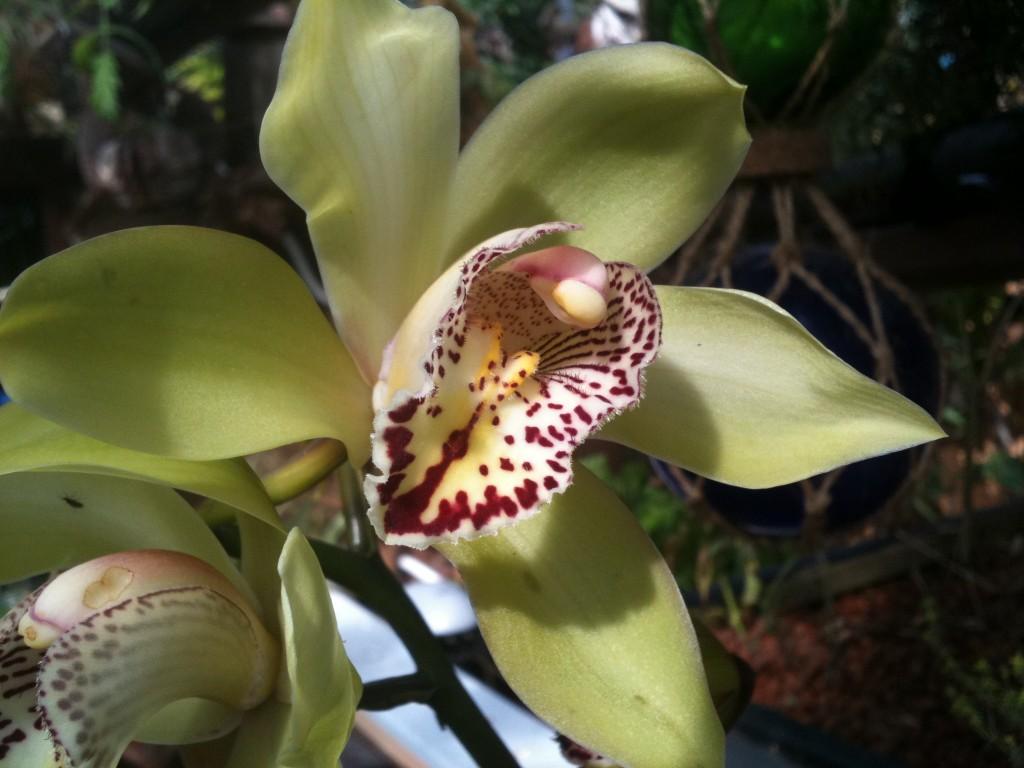 Cymbidium Orchid in San Diego