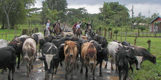 cattle-crossing